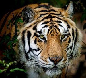 Go get em tiger!
